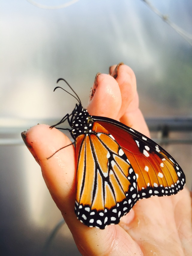 A queen butterfly in the greenhouse at Our Neighbors Farm & Pantry